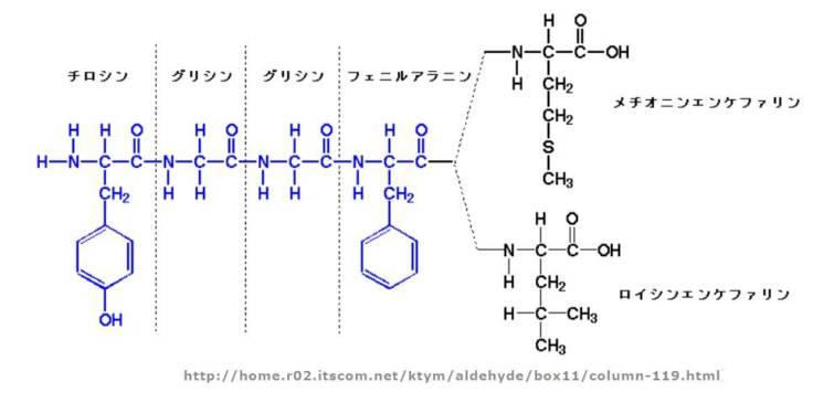 エンケファリンの構造式