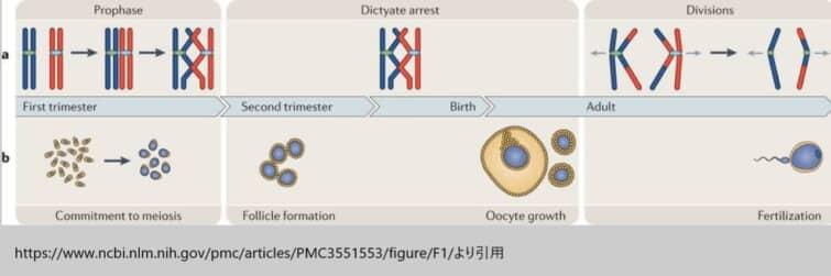 染色体異数性|そのメカニズムと加齢問題の新しい知見|ARTで異数性が増加
