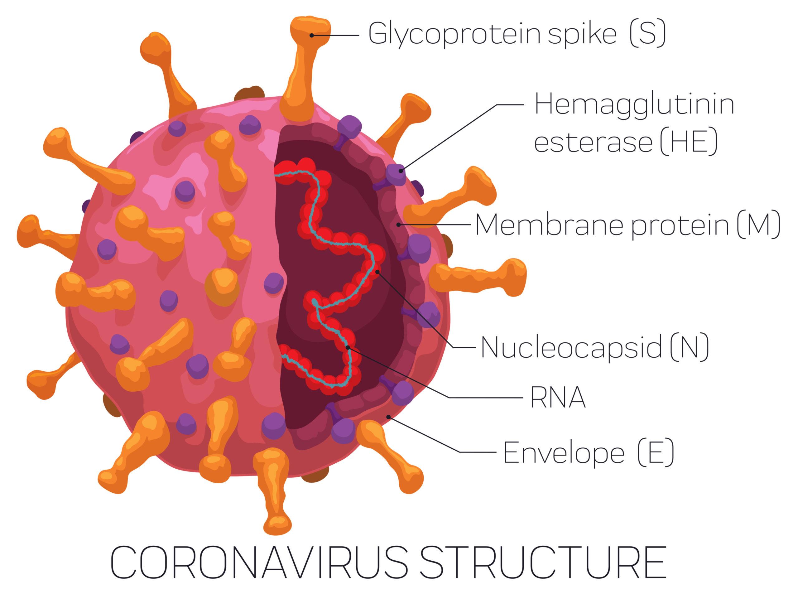 コロナウイルスの構造