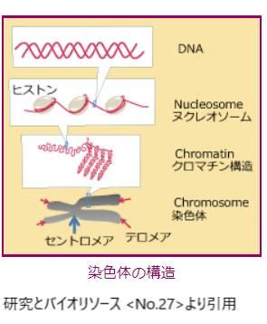 染色体の構造