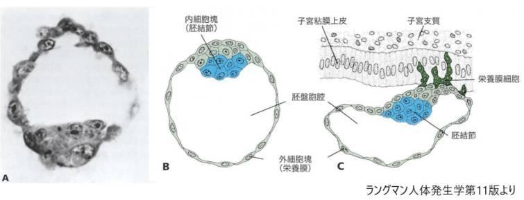 ヒト胚盤胞の切片